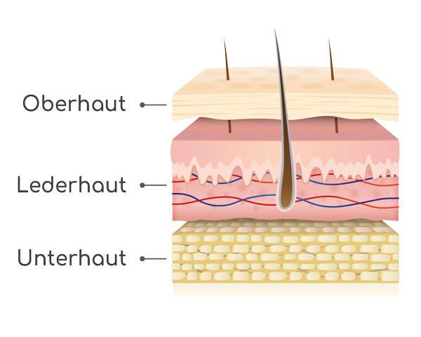 Aufbau Haut Abbildung